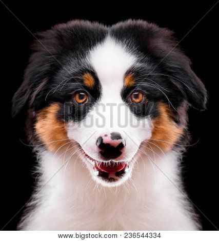 Australian Shepherd purebred puppy, 3 months old looking at camera - close-up portrait. Black Tri color Aussie dog, isolated on black background.