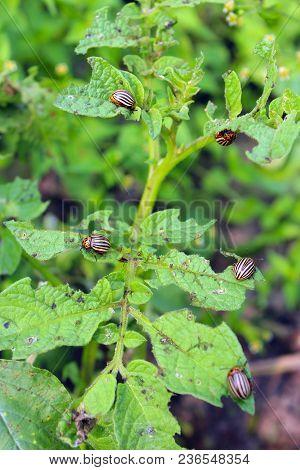 Colorado Beetle On Potato Leaves. Parasites In Agriculture. Colorado Beetle Destroy Potato Plants An