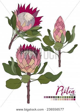 Vector Floral Bouquet Design:blossom Protea Flowers And Leaves. Wedding Vector Invite Card Vector De