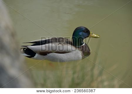 Anas Platyrhynchos, Wild Duck Floating On The Pond