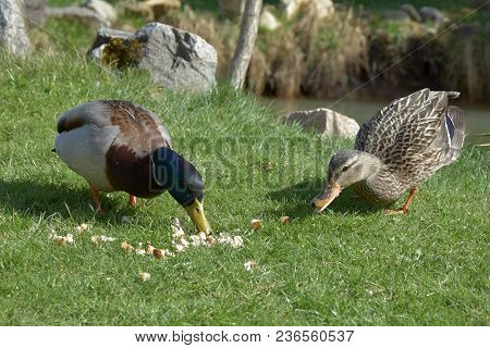 Anas Platyrhynchos, Wild Ducks Will Feed The Food From The Grass