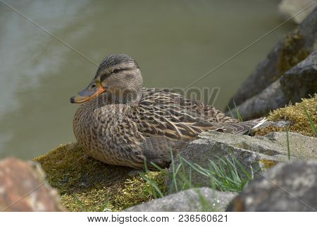 Anas Platyrhynchos. A Wild Duck Sits On A Moss-covered Stone