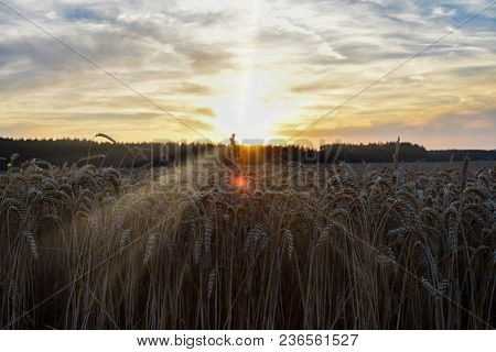 The Sunset Over The Wheat Field. Backlight Sunlight.