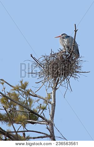 High In A Pine Tree And Against A Powder Blue Sky, A Great Blue Heron Prominently Guards Its Nest.