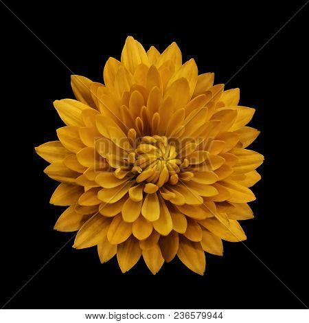 Yellow Flower Dahlia  On The Black Isolated Background With Clipping Path.   Closeup.  No Shadows.