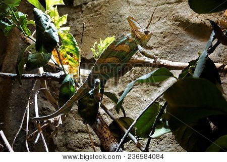 Veild Chameleon On A Branch In Front Of A Wall