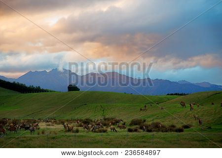 Wapiti eating grass during sunset on south island in New Zealand
