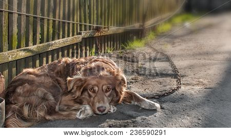 Portrait Of Cute Chained Brown Or Red Dog Lying Or Resting On Old Village Yard With Wooden Fence