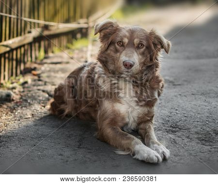 Portrait Of Cute Chained Brown Or Red Dog Lying Or Resting On Old Village Yard Next To Wooden Fence