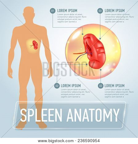 Infographic Poster With Spleen Illustration And Medical Icons. Realistic Vector Illustration