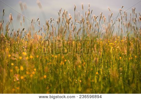 Fresh And Natural Grass Background With A Small Depth Of Field. Natural Sunset Light