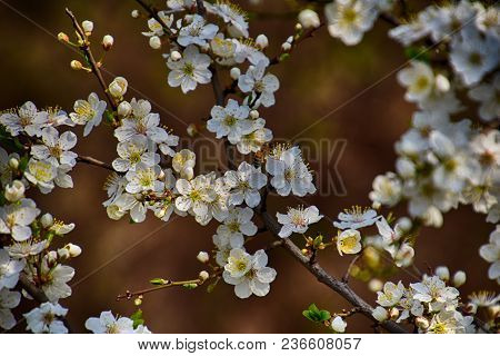 Beautiful Twig Of A Fruit Tree Showered With Small Delicate White Flowers