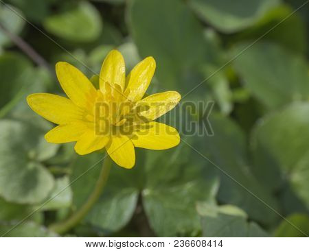Single Close Up Yellow Marsh Marigold Spring Flower Selective Focus, Blurry Soft Background