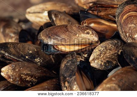 Mussels Close Up. Wild Sea Mussels On A Table