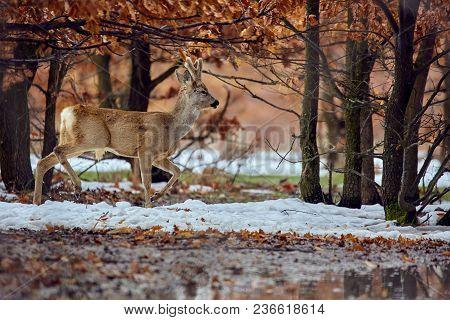 Roe Deer (capreolus Capreolus) In An Oak Forest At The Feeding Spot