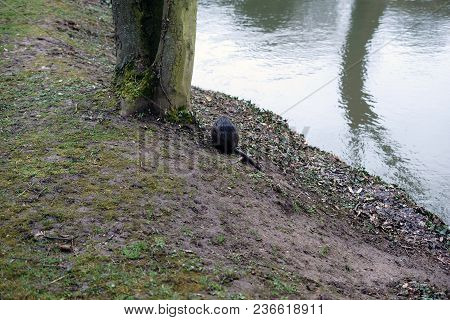 A Beavers Sits On A River Bank And Gnaws At Twigs And Grasses.