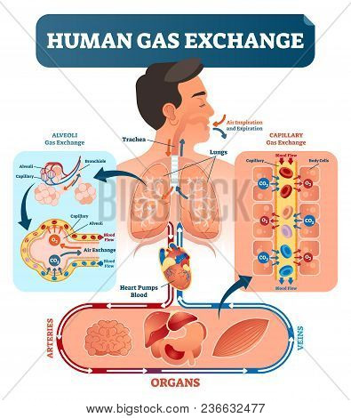 Human Gas Exchange System Vector Illustration. Oxygen Travel From Lungs To Heart, To All Body Cells