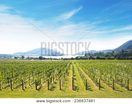 Row Of Green Grape Yard With Mountain And Blue Sky Panoramic Landscape.