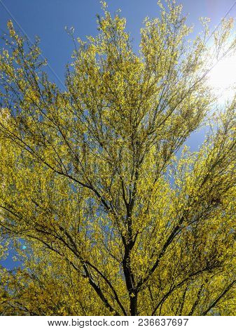 Palo Verde Or Parkinsonia Aculeata Tree Golden Crone With Blooming Yellow Flowers In Spring, Back Li