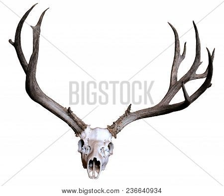 Large Antlers And A Bleached Skull On A White Background.