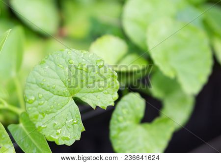 Closeup Leaves Of Gotu Kola, Asiatic Pennywort, Indian Pennywort With Sun Light, Herb And Medical Co