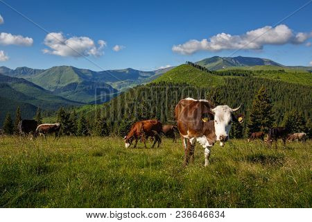 Cattle On A Mountain Pasture. Summer Sunny Day. Cow In Pasture. Mountain Meadow. Green Meadow In Mou