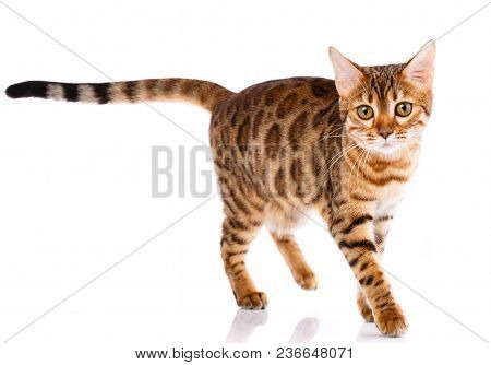 Bengal Thoroughbred Cat On A White Background. Purebred Cat. Well-groomed Kitten. Pet, Comfort And C