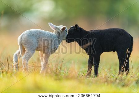 Cute different black and white young lambs on pasture, early morning in spring. Symbol of spring and newborn life. Concept of diversity