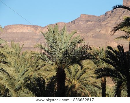 View Of Green Trees In Oasis Landscapes In Central Morocco In Old Village Of Oulad Near Zagora City,