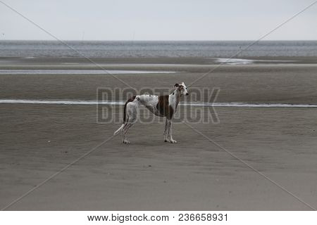 Beautiful Galgo Is Standing At The Beach