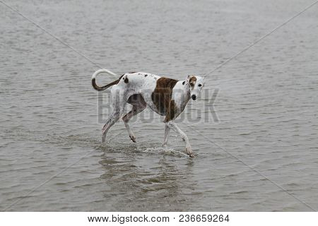 Beautiful Galgo Is Walking In The Water At The Beach