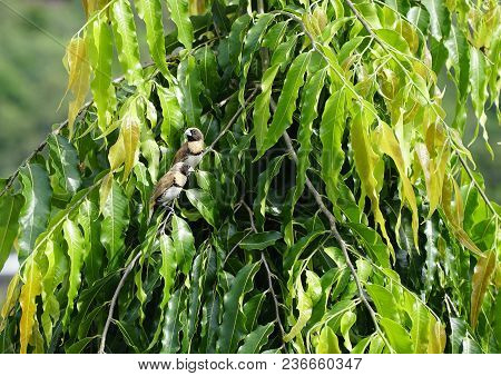Two Finches In A Indian Mast Tree