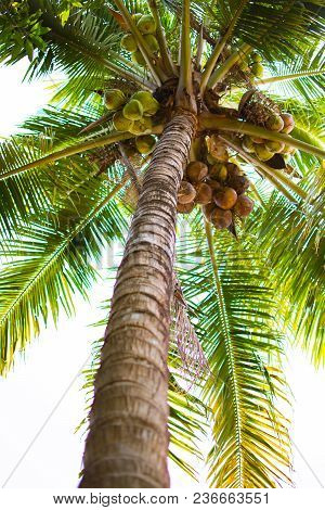 Coconut Tree Or Cocos Nucifera L. At Low Point View. This Is A Tree With Brown Trunk, Many Coconut A
