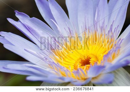 Close Up Lotus Flower Or Water Lily For Natural Background