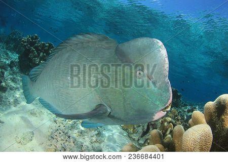 Bumphead Parrotfish fish at Sipadan Island, Malaysia