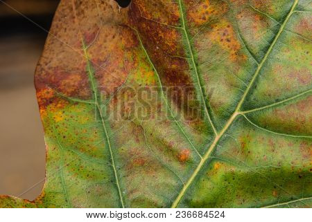 A Closeup Of A Colorful Oak Leaf. On The Leaf Is Clearly Seen A Main And Secondary Veins, Spots Of G