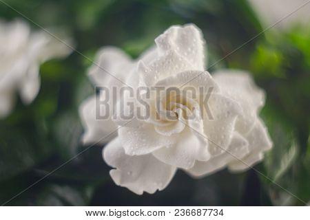 Beautiful White Flower Gardenia On  Green Background