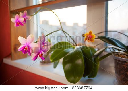 Beautiful Rare Orchid In Pot On White Window