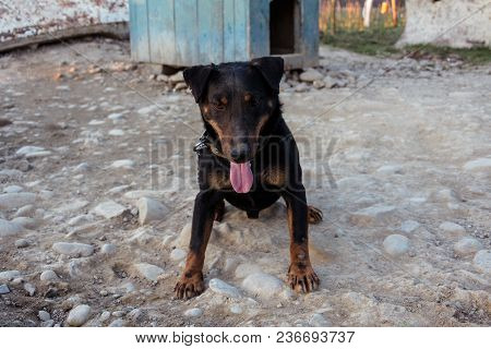 A Small Black Doberman Sits On A Chain Leot By Pushing The Tongue 2018