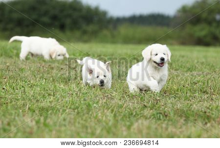 Beautiful Group Of Golden Retriever Puppies Running