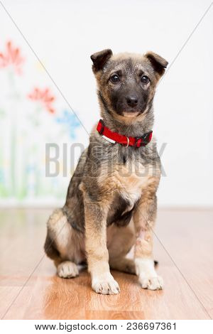 A Little Mongrel Puppy In A Red Collar Sits On The Floor