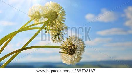 Dandelion Seeds Flying In The Blue Sky.