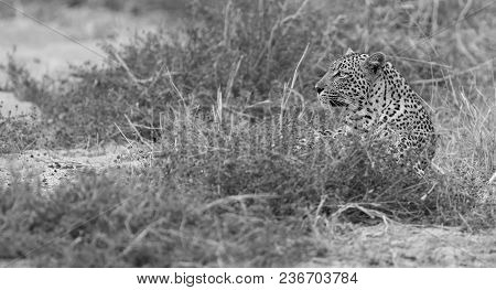 Male And Female Leopard Rest After Mating Artistic Conversion