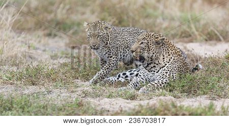 Male And Female Leopard Mating On Short Grass In Nature