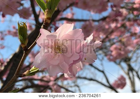 Cherry Blossom Blooming In Roosevelt Island In Spring
