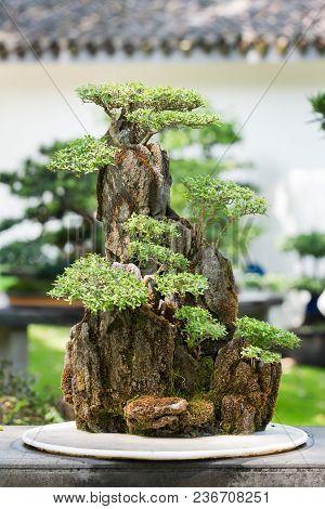Bonsai Trees On A Rock In Baihuatan Public Park, Chengdu, China