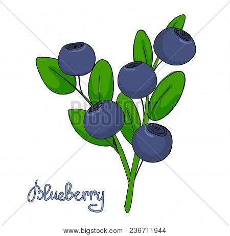 Sprig Of Blueberry. Leaves And Berries Of Bilberries On A Branch. Forest Plant Huckleberry. Isolated