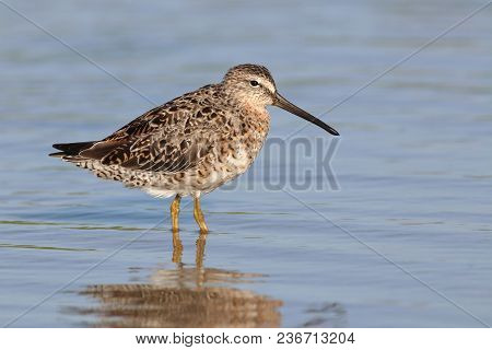 A Short-billed Dowitcher, Limnodromus Griseus In A Calm Shallow Bay In Florida