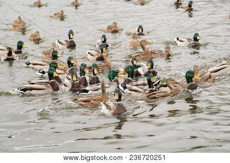 A Group Of Beautiful Brown And Green Ducks And Drakes Swim In The River