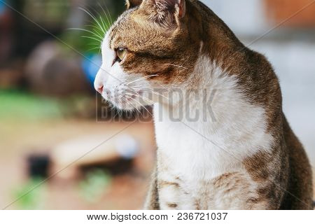 Thai Cat With White Nose Fuselage Brown Stripes Are  Sat Looking
